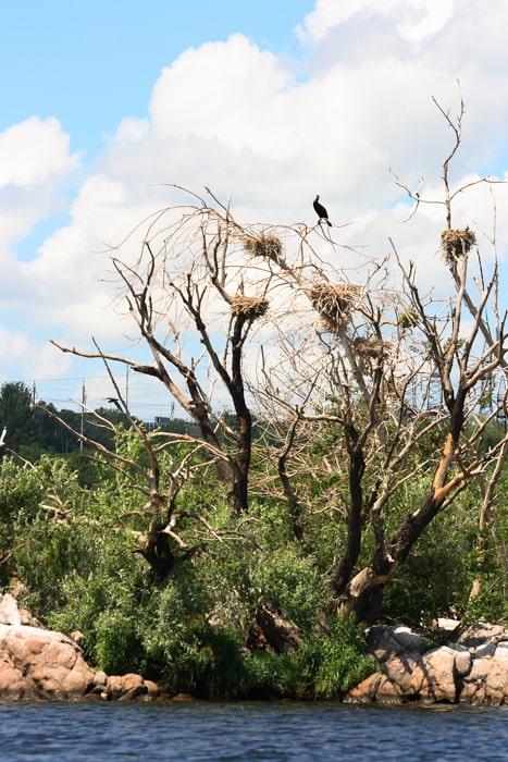 Бакланы на острове Черепаха. Байдарочный тур