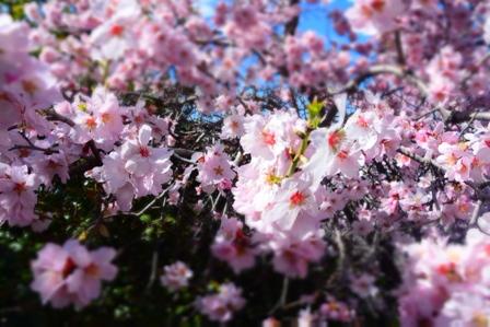 Квіти мигдалю