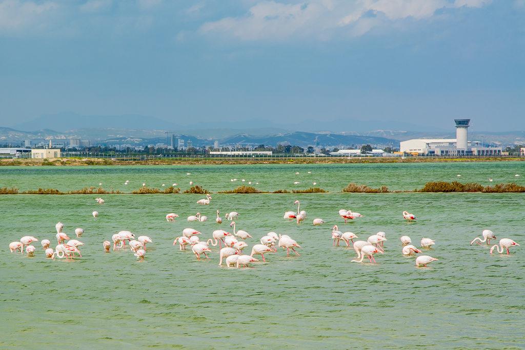 Фламінго на Кіпрі