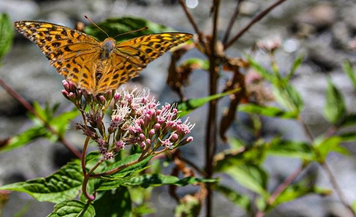Цветочки и бабочки на Цхенисцкали