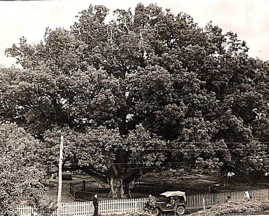 Хортицький  дуб
