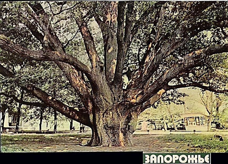 Віковий дуб. Фото 1968 р. з обкладинки коробки  з-під цукерок