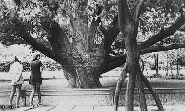 Молоді зрощені дубки біля Запорозького дуба. Фото 70-х років ХХ століття