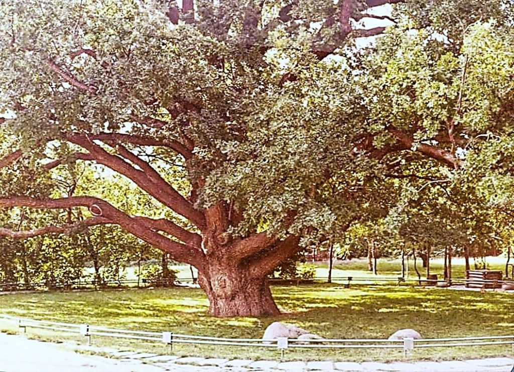 Віковий дуб. Фото 70-х років ХХ століття