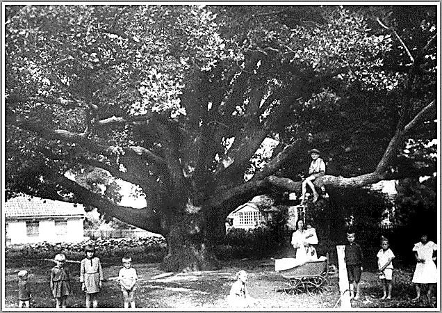 Великий дуб на подвір'ї меноніта Арона Гардера