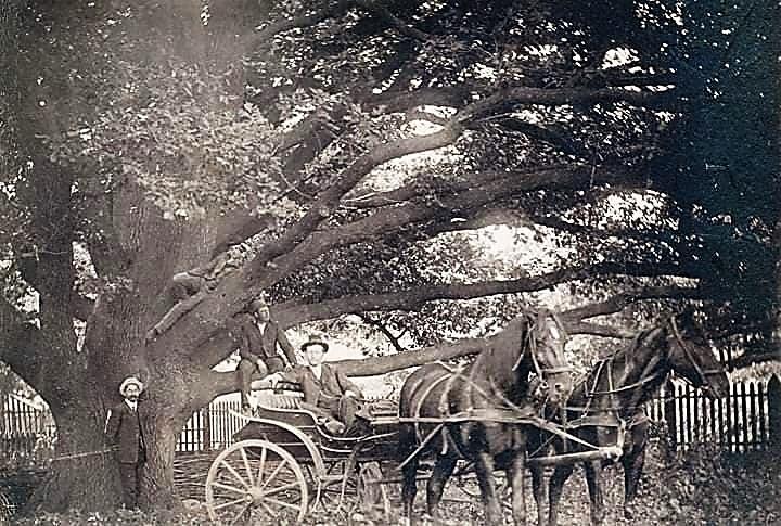 Віковий дуб колонії Хортиця