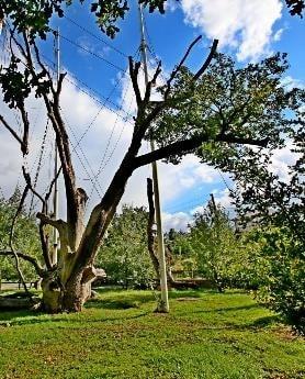 Жива гілка Запорізького дубу