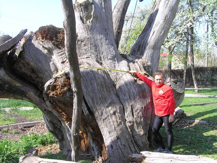 Обхват стовбура Запорізького дуба на висоті 1,7-2 м  - 802 см. Фото 2020 р.